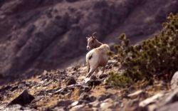 Bighorn Sheep on Mt Washburn Photo