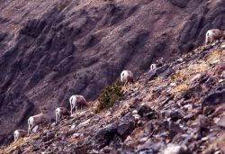 Bighorn Sheep on Mt Washburn Photo