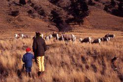 Bighorn Sheep near base of Mt Everts Photo