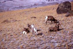 Bighorn Sheep on Mt Everts Photo