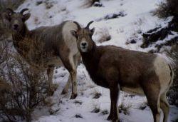 Bighorn Sheep ewes in winter Photo