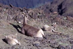 Bighorn Sheep ewes and lambs Photo