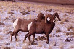 Bighorn Sheep in snow Photo