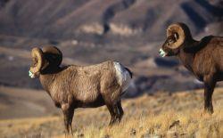 Bighorn Sheep rams Photo