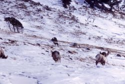 Bighorn Sheep & antelope watching coyote in winter Photo