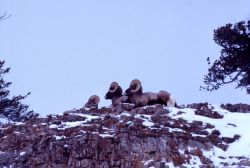 Bighorn Sheep rams on mountain cliff in snow Photo