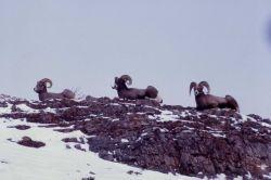 Bighorn Sheep rams on mountain cliff in snow Photo