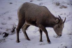 Bighorn Sheep ewe in snow Photo