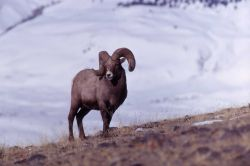 Bighorn Sheep in winter Photo