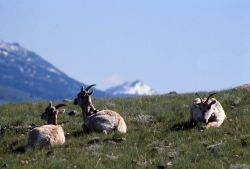 Three Bighorn Sheep ewes Photo