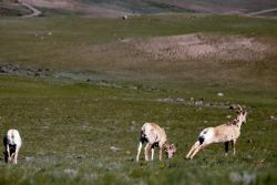 Three Bighorn Sheep ewes Photo