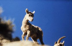 Bighorn Sheep lamb Photo