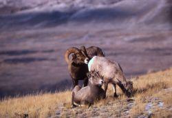 Bighorn Sheep ewes & ram on slope Photo