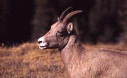 Bighorn Sheep ewe, head shot, side view Photo