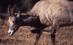 Bighorn Sheep ewe scratching neck with hind hoof Photo