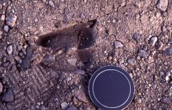 Bighorn Sheep track with camera lens cover Photo