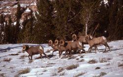 Bighorn Sheep on Terrace Mountain in winter Photo