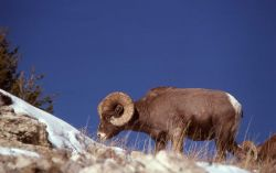 Bighorn Sheep on Terrace Mountain in winter Photo