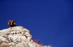 Bighorn Sheep ram on Terrace Mountain Photo