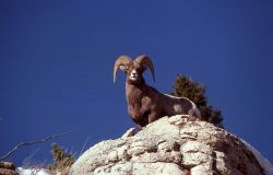 Bighorn Sheep ram on Terrace Mountain Photo