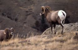 Two Bighorn Sheep rams on Mt Everts Photo