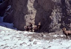 Bighorn Sheep in Gardner River canyon in winter Photo