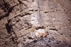 Bighorn Sheep ewe with lamb Photo