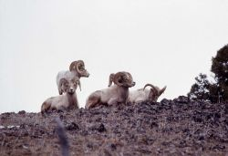 Bighorn Sheep rams Photo