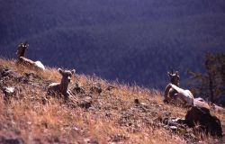 Bighorn Sheep on east side of Mt Washburn Photo