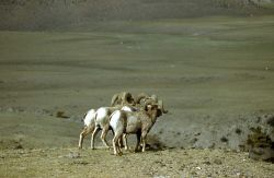 Bighorn Sheep near North Entrance Photo
