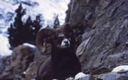 Bighorn Sheep ram sitting on rock ledge in Glacier National Park Photo