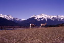 Bighorn Sheep in Banff National Park, Canada Photo