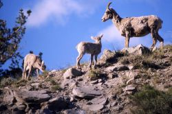Bighorn Sheep ewe & two lambs on a ridge Photo