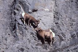 Bighorn Sheep on steep slope in Gardner River canyon Photo