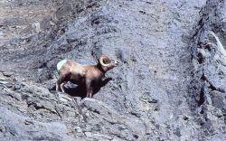 Bighorn Sheep ram on steep slope in Gardner River canyon Photo