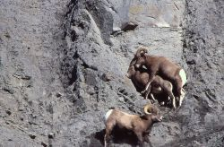 Bighorn Sheep ram & ewe mating, another ram watching in Gardner River canyon Photo