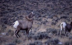 Bighorn Sheep ram calling with head back Photo
