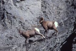 Bighorn Sheep ram pursuing ewe Photo