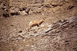 Bighorn Sheep ewe & lamb in Gardner River canyon Photo