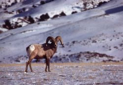 Bighorn Sheep ram in winter on flats near North Entrance Photo