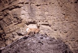 Bighorn Sheep ewe & lambs near North Entrance in Gardner River canyon Photo