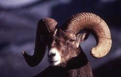 Close up of front of head of Bighorn Sheep ram Photo