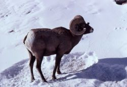 Bighorn Sheep ram in snow Photo