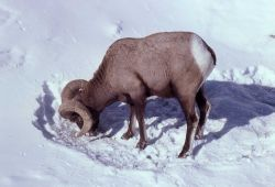 Bighorn Sheep ram grazing in snow Photo