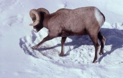 Bighorn Sheep ram pawing snow Photo