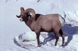 Bighorn Sheep ram standing in snow Photo