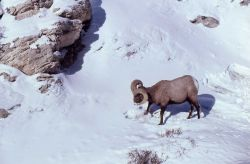 Distant view of Bighorn Sheep ram in snow Photo