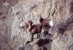 Bighorn Sheep ram & ewe on rock Photo