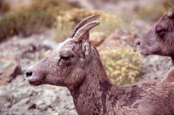 Close up profile of Bighorn Sheep ewe Photo