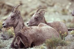 Two Bighorn Sheep ewes sitting Photo